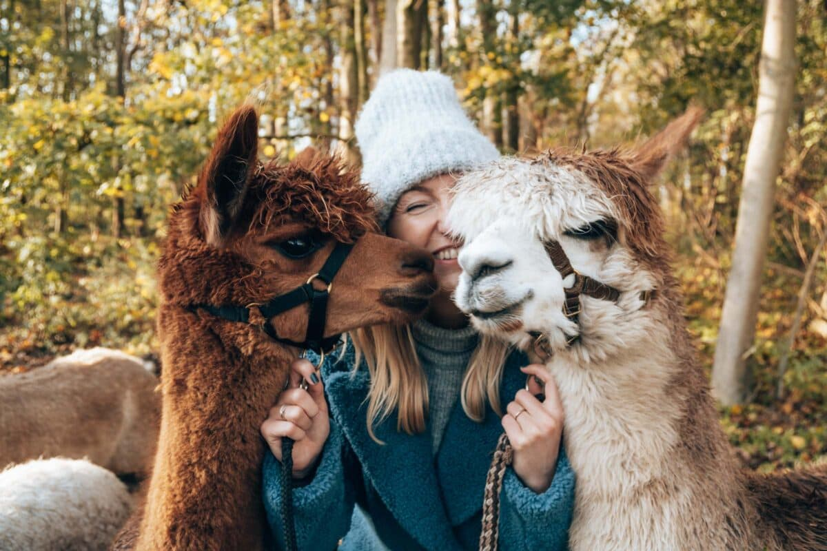 Leuk uitje in Zeeland, Wandelen met alpaca's bij alpaca Zeeland
