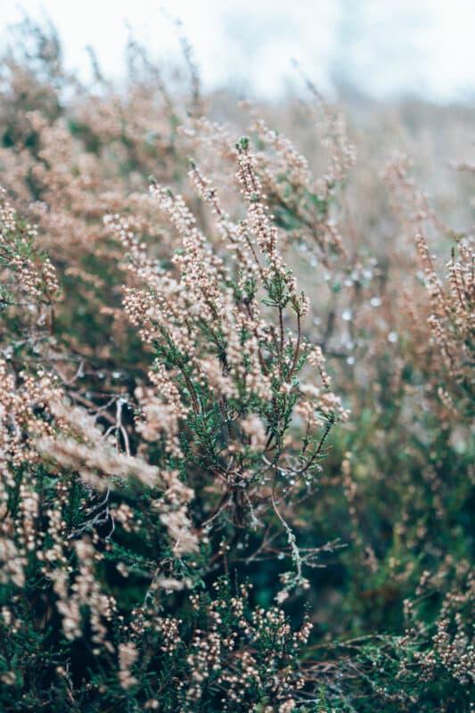 Bloeiende heide op de Sallandse Heuvelrug tijdens het wandelen naar de Holterberg