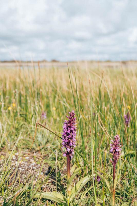 Bloeiende orchideeën in natuurgebied het Zwanenwater